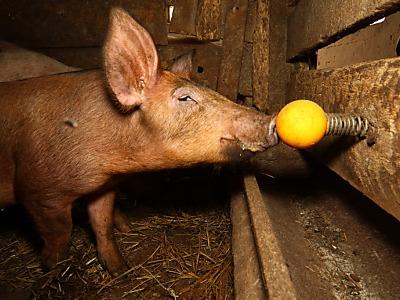 Ein-spielzeug-fuer-schweine-785635_400_0