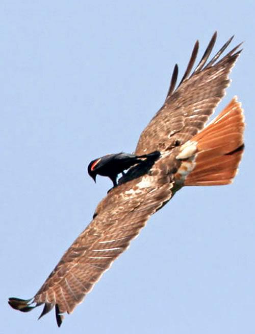 Freeridebirdhawk