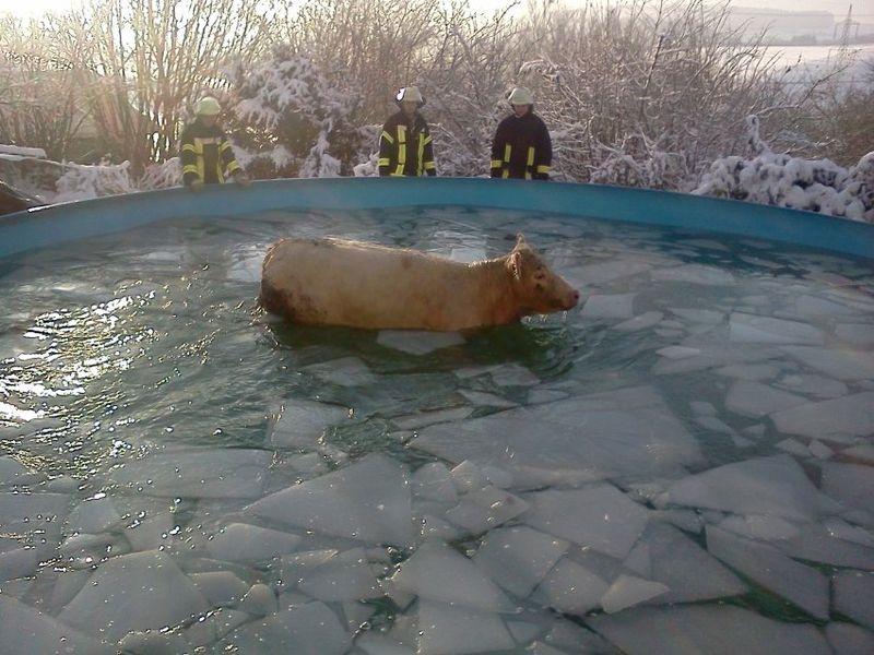 Cowfrozenpool
