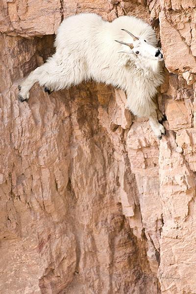 Mountain-goat1