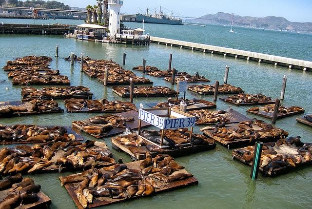 Pier 39 sea lion lions k-dock san francisco 2