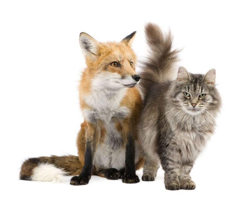 CatAndFox