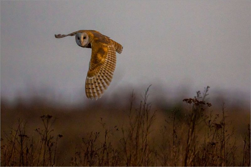 Barn-owl-flight-c2a9-christopher-martin-3133
