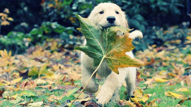 Autumn-Animals-Leaves-Grass-Dogs-Puppies-Adventure-Golden-Retriever-Fallen-High-Quality-Picture-1920x1080