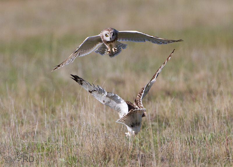 Short-eared-owl-7433