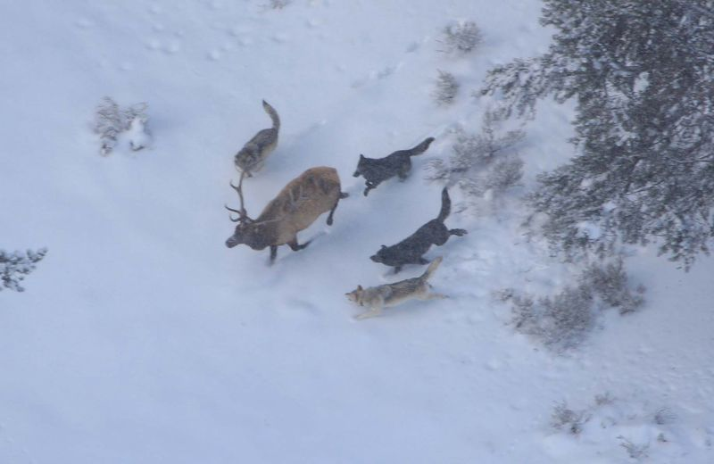 Wolves_and_elk