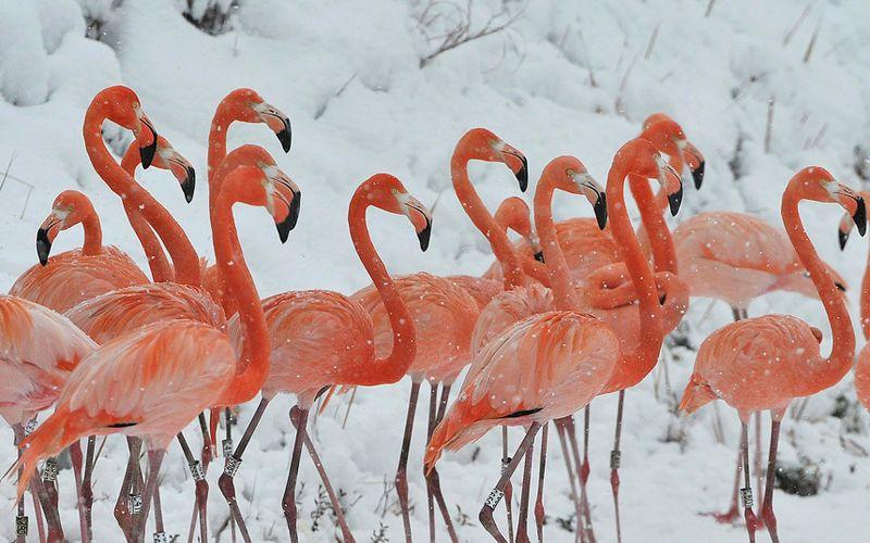 Flamingosnow